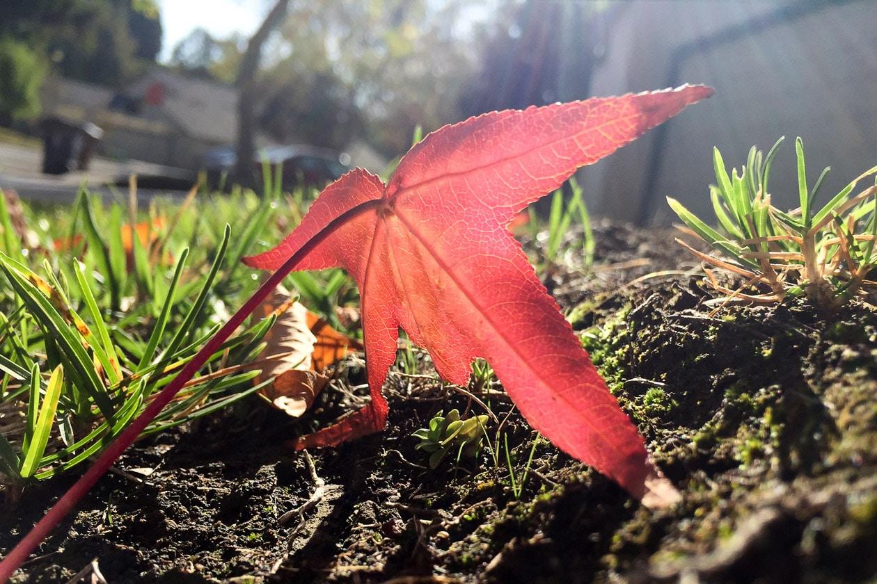 fall, san francisco, california, red, leaf