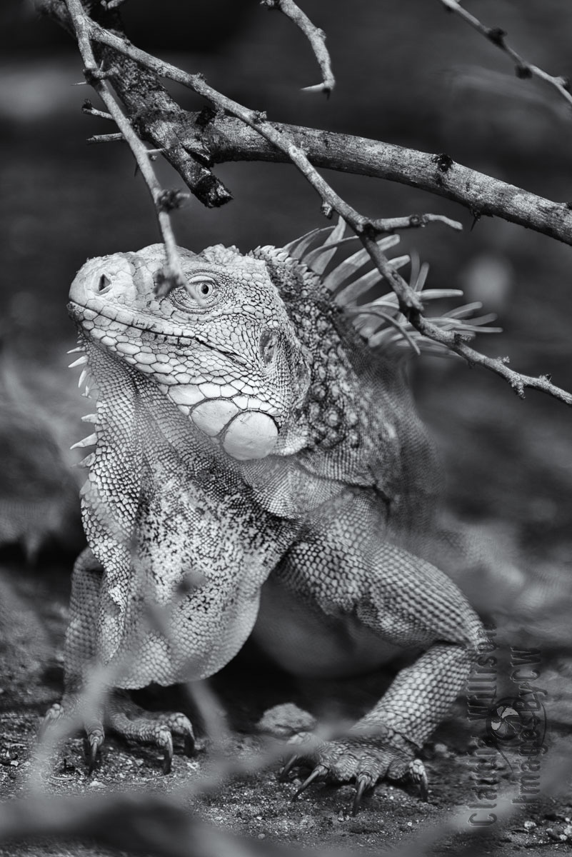 iguana, black and white, monochrome, close up