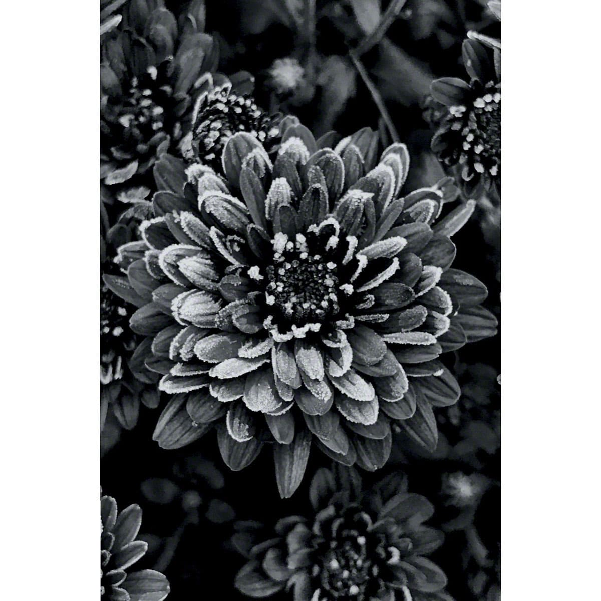 bw-ice-flower