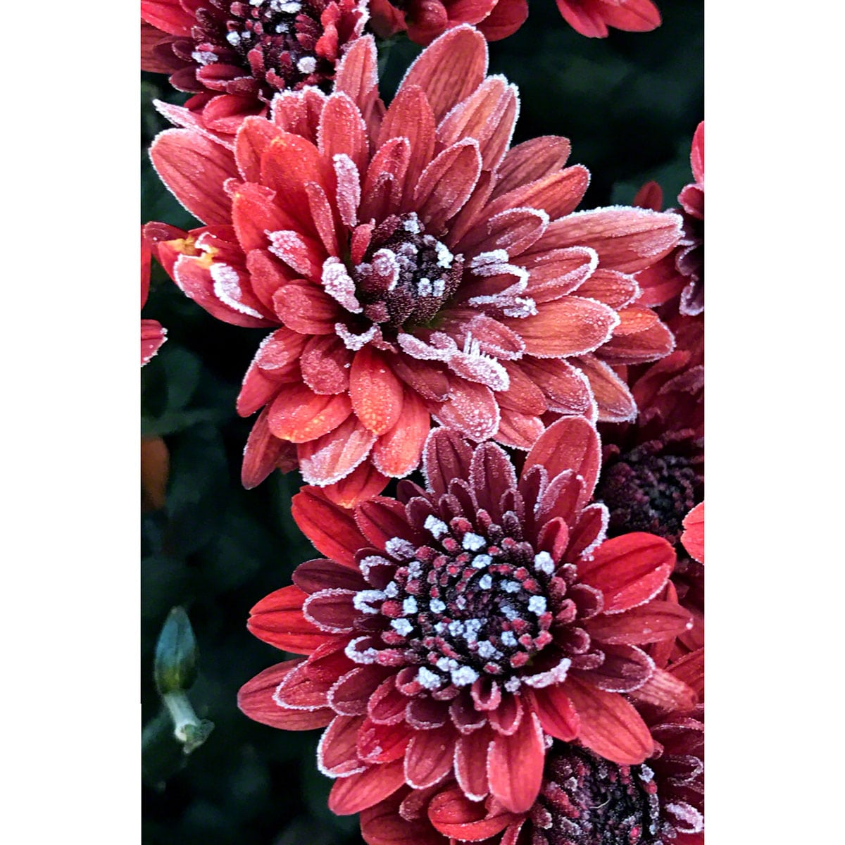 red-ice-flower