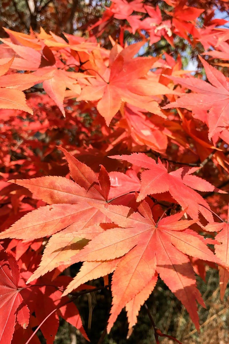 maple, fall, colors