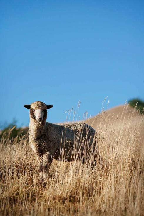 10014-0041-Image-Workshop-Melbourne-photographer-New-Zealand-merino-sheep-farm-wool