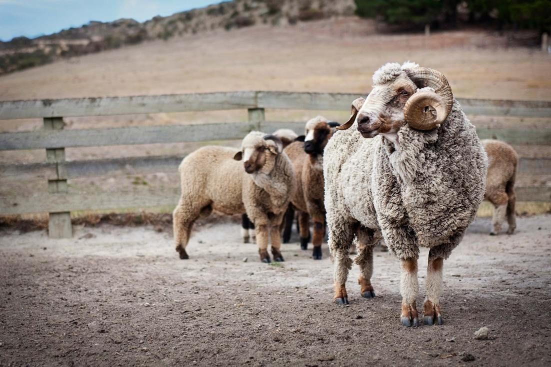 10014-1147-Image-Workshop-Melbourne-photographer-New-Zealand-merino-sheep-farm-wool-ram