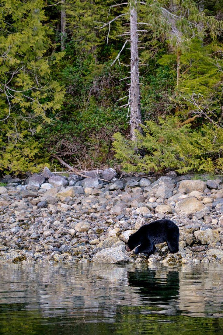 PWS015-0765-Sharon-Blance-photographer-Tofino-travel-editorial-black-bear-clayoquot-sound