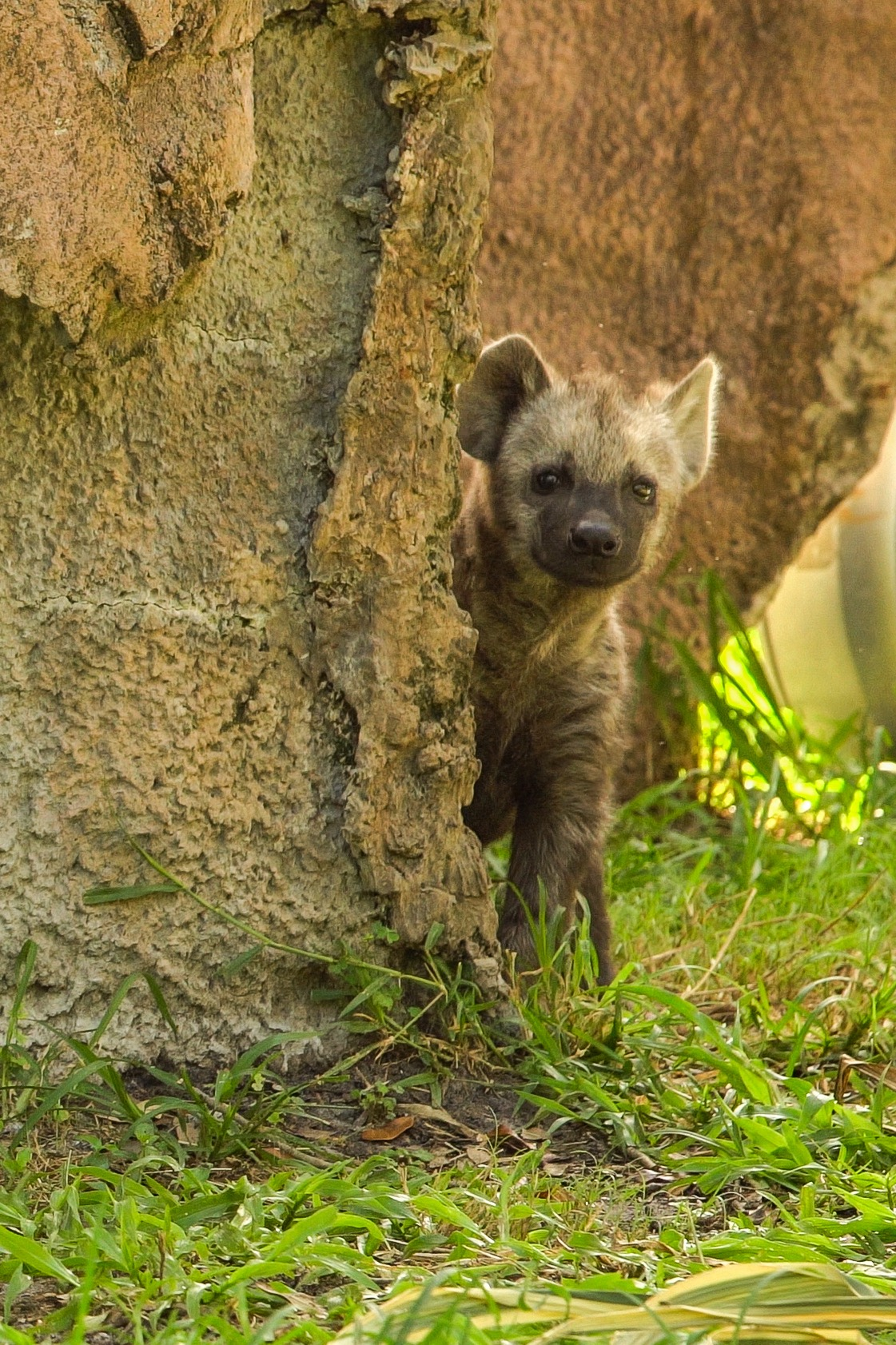 Baby Hyena at Busch Gardens Tampa Bay - ImagiNERDing