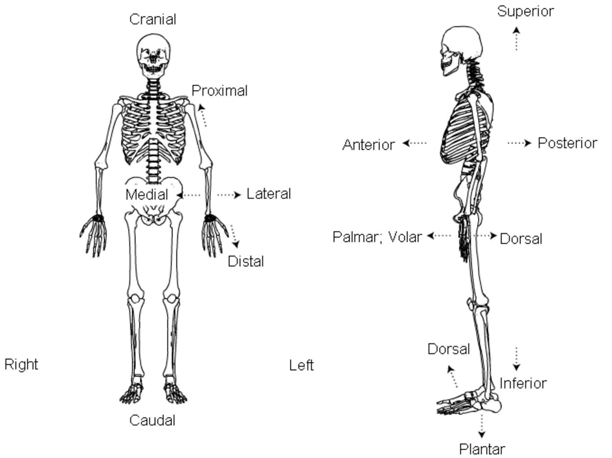 Planes And Motions Used In Macroscopic Anatomy