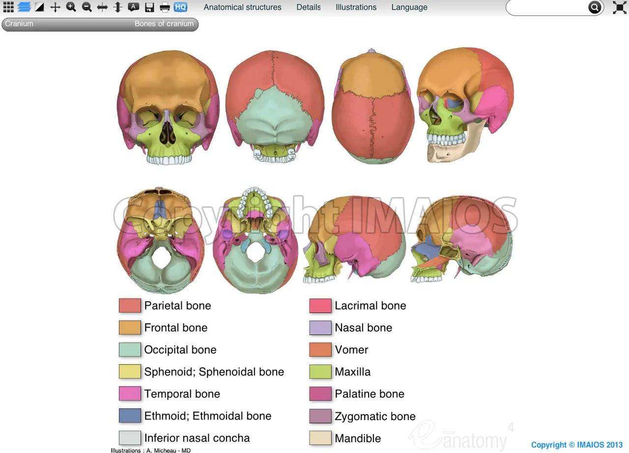 Skull Anatomical Illustrations