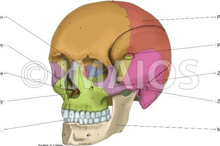 interior inferior bones of the cranium » Electronic Wallpaper ...
