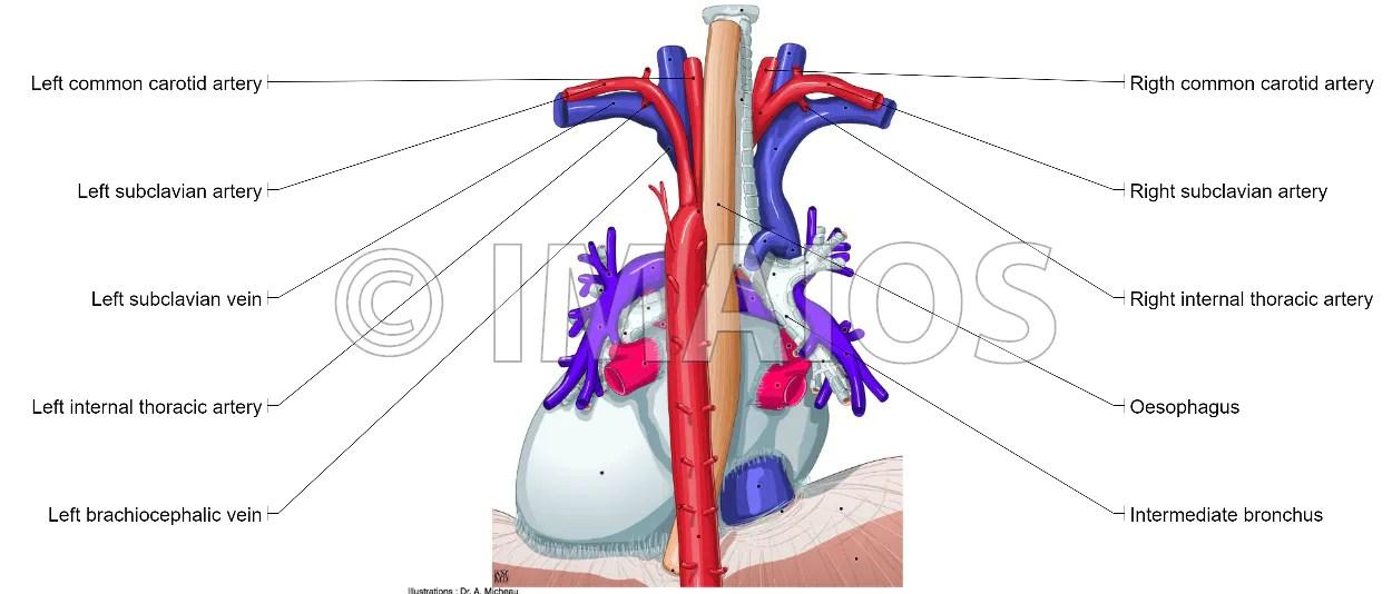 Mediastinum: anatomical illustrations