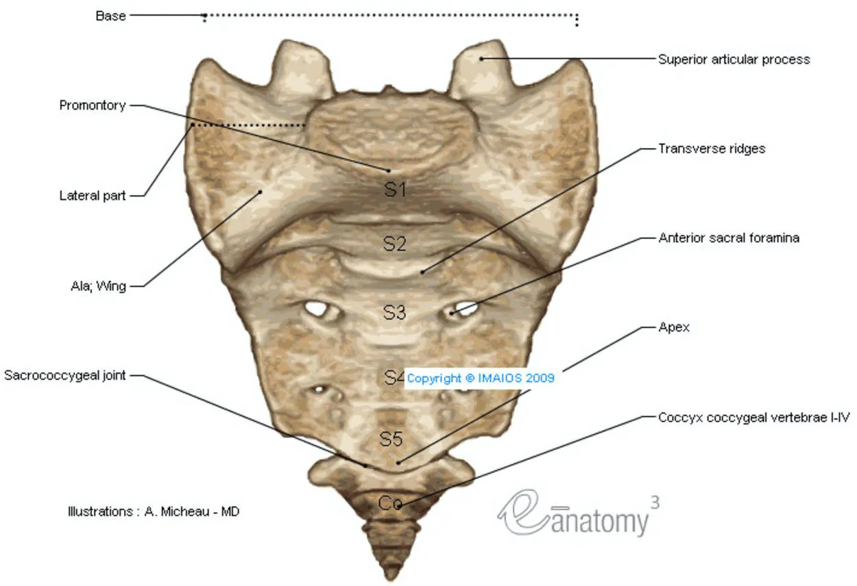 Anatomy Of The Spine And Back