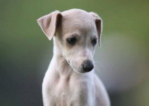 Miniature Whippet
