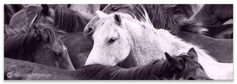 Besta  fermosa de  Sabucedo, Comprar fotografía Galicia Festa Rapa dás  Bestas de  Sabucedo Cabalos  NaturalezaPaisajes Decoración
