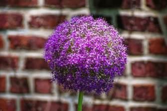 Sunday Afternoon -Allium giganteum, Central Park Precinct Station.