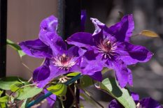 Sunday Afternoon -Clematis(?), 84th Street.