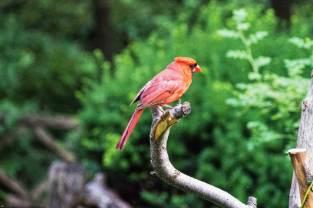 Saturday Evening walk- Cardinal