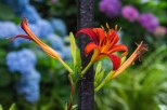 Friday - Day Lily and rhododendron
