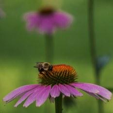 Saturday - Bumble Bee