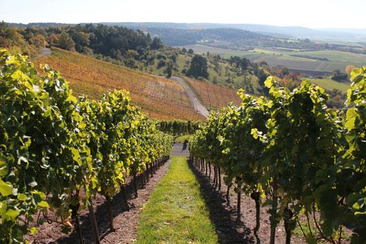 estate-d-iacobelli-vineyard
