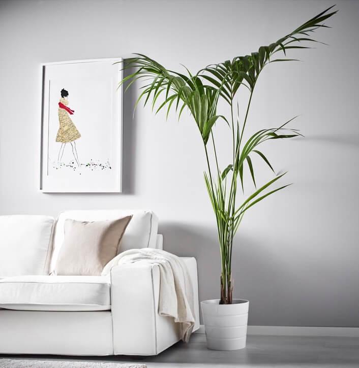 decoración con kentia