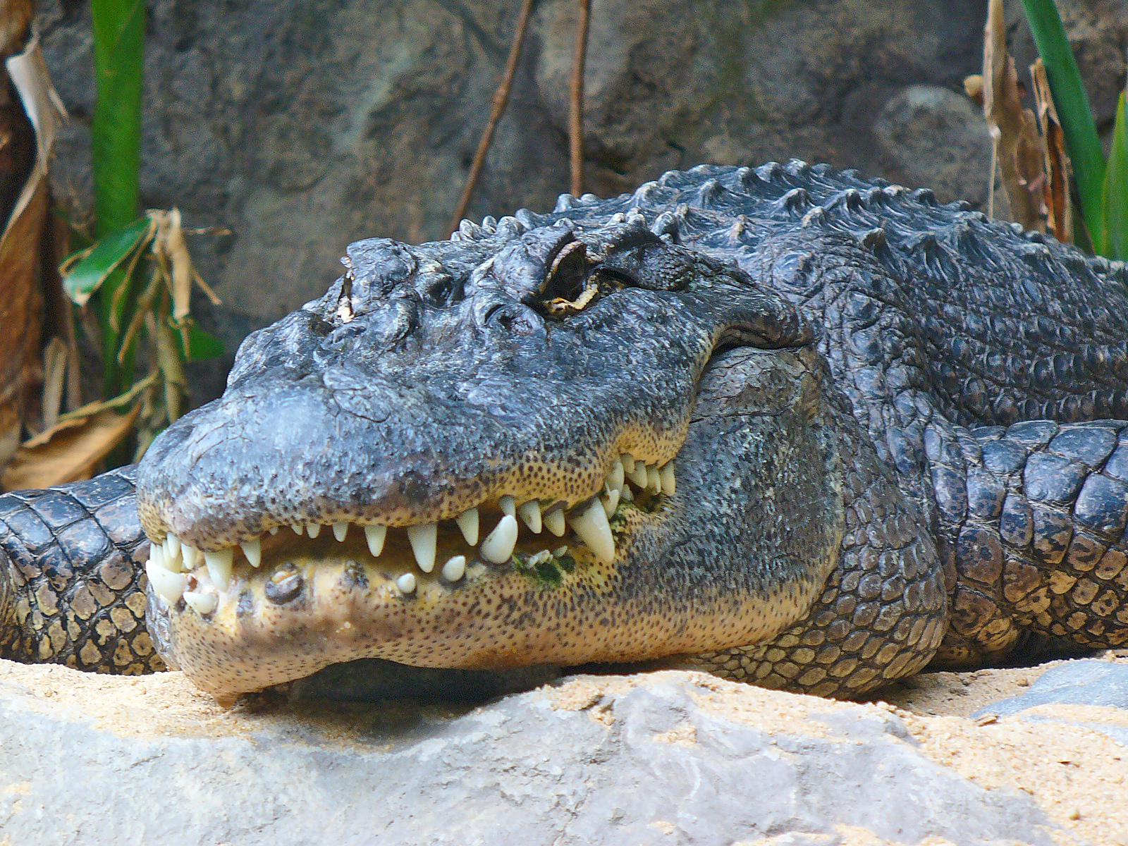 Alligator_mississippiensis_01.jpg