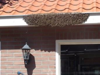 Een voorbeeld van een bijenzwerm aan een dakgoot