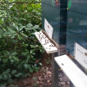 Zwakke en dode bijen op de vliegplank