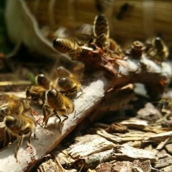 Waaierende bijen