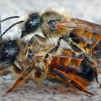 Rosse metselbijen