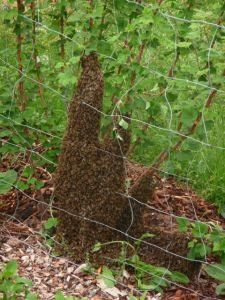 Bienenschwarm am Boden