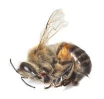 Bienenkrankheiten,Bienensterben