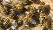 Dunkle Bienen, Nordbienen, Nordbiene, dunkle Biene