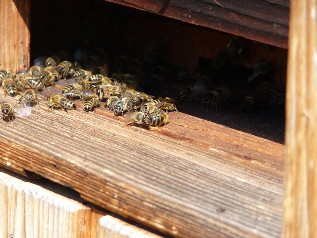 Räuberei bei Bienen. 7 Tipps vom Imkerpaten wie du Räuberei vermeidest.