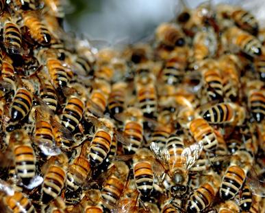 Schwarmverhinderung. Wie Du das Schwärmen der Bienen verhinderst.