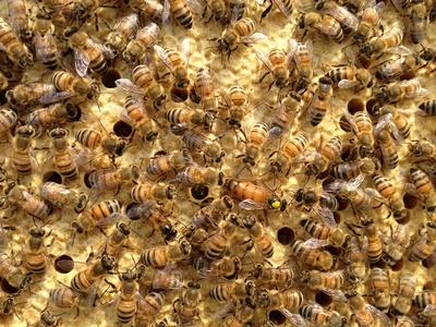 Buckfast. Wie dir die Buckfastbiene Zeit spart und die Erträge steigert.