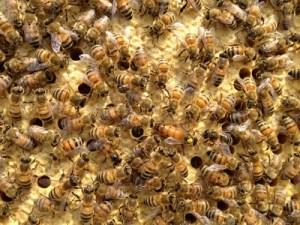 Buckfast Bienen, Buckfast Brut, Buckfast Volk, Buckfast Wabe