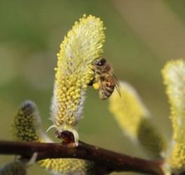 Biene Drachenweide, Drachenweide Pollen