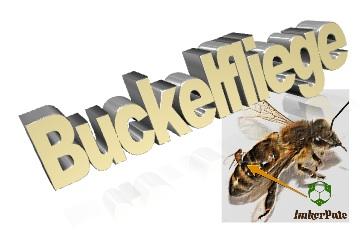 Buckelfliege Bienen, Buckelfliege