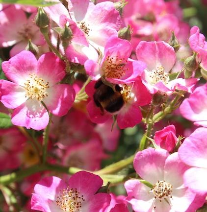 Baumhummel Oder Schwarze Biene