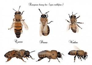 Honigbiene Bienenwesen, Bienenwesen Drohne, Bienenkönigin, Arbeitsbiene