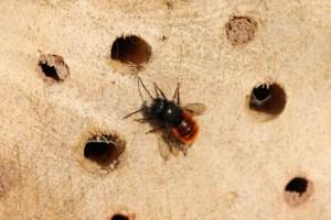 gehoernte Mauerbiene auf Insektenhotel,gehörnte Mauerbiene,verschlossene Löcher