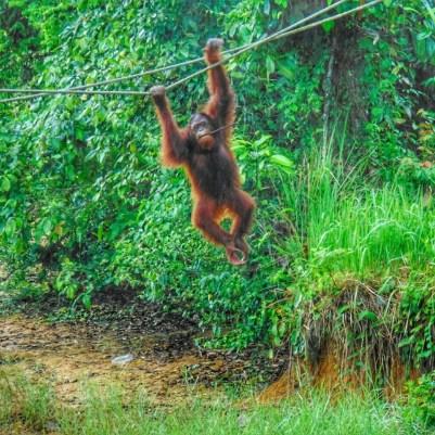 Orangutan Island Foundation