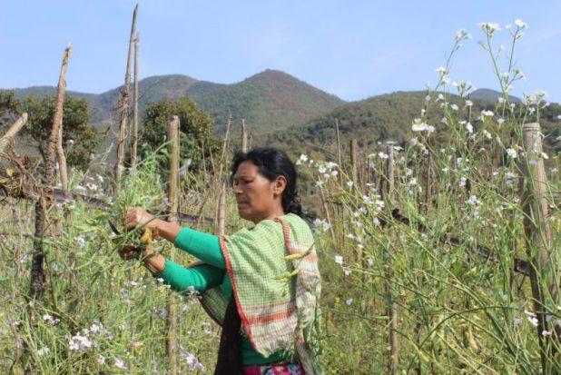 A woman tends her mustard crop [image by: Ninglun Hanghal]