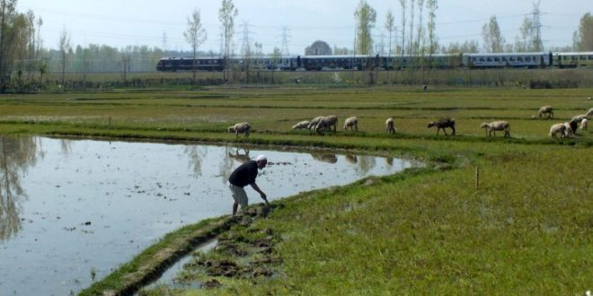 A farmer working in his rice farm in Zangam-Pattan, north Kashmir [image by: Athar Parvaiz]