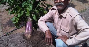 A new radish variety developed by Dayanand Joshi in the central Himalayas [image by: Reetu Sogani]