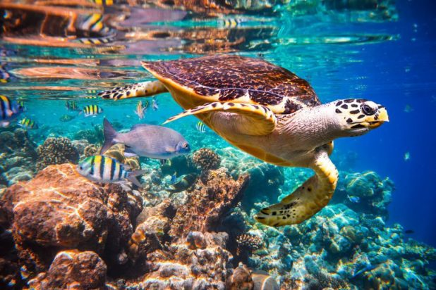 Hawksbill Turtles floats underwater, Indian Ocean coral reef, Maldives [image by: Andrey Armyagov / Shutterstock.com]