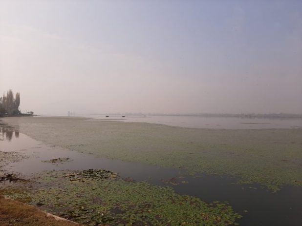 Weeds and red algal bloom have engulfed the lake stretch from Hazratbal to Boulevard since August 5 [image by: Faisal Bhat]