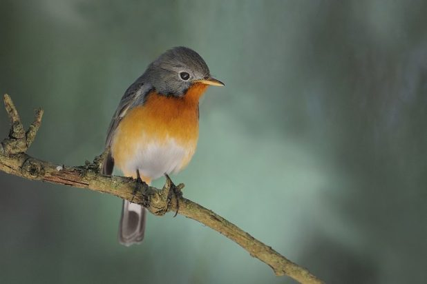 The Kashmir flycatcher is endemic to the region [image by: Clement Francis]