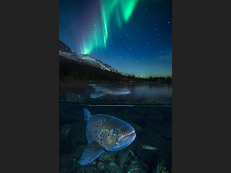 Arctic trout in Northern Light