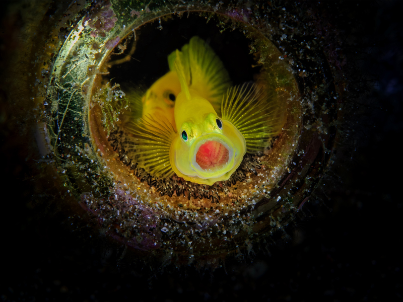 Golden Gobies with Eggs