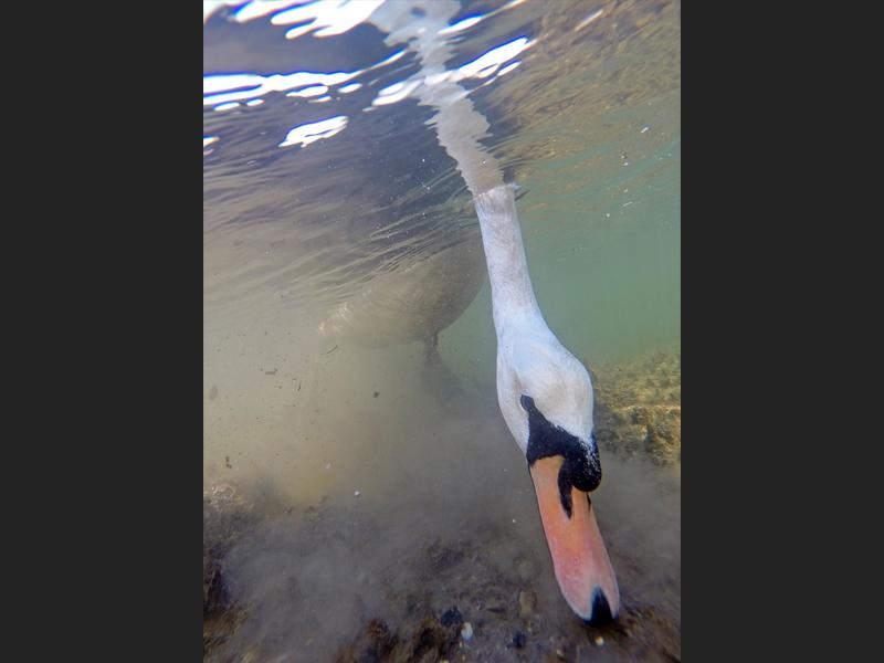 Mute Swan feeding underwater - Third category British Waters Compact